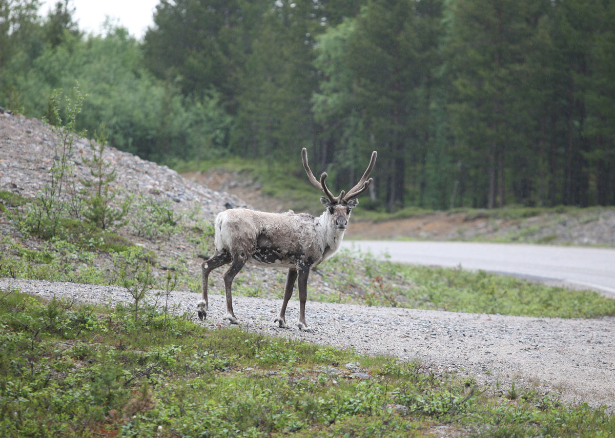 Una renna sulla strada per Kirkenes