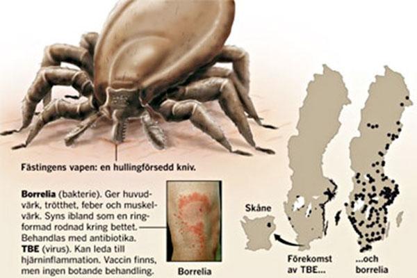 Zecche - Fästingar i Sverige