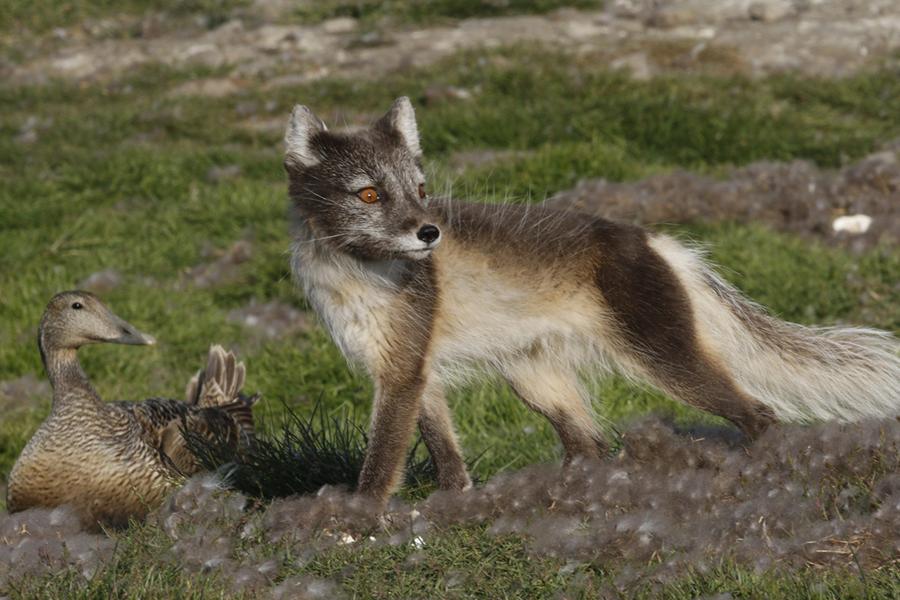 La volpe artica e gli Edredoni - © Mario Cioni