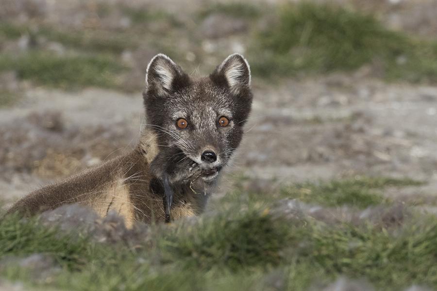 La volpe artica - © Mario Cioni